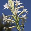 New creation - Polianthes tuberosa flower / Новое Творение