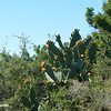 Range Cactus