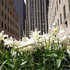 NYC Easter Lillies