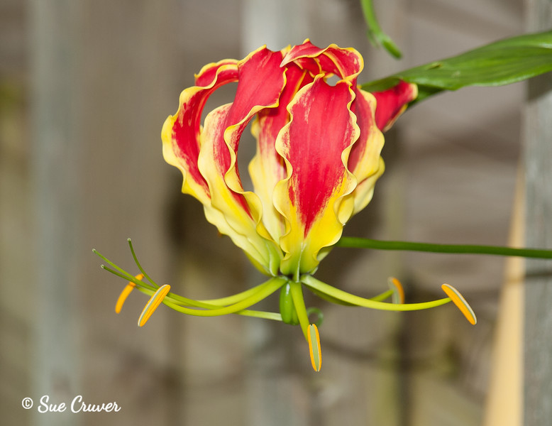 Red and Yellow Ruffles