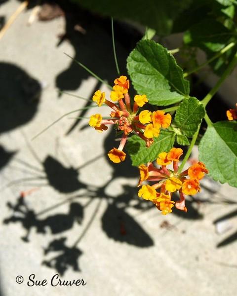 Flower Shadow