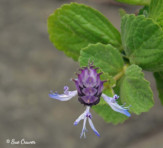 Purple and Blue Flower