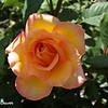 Yellow and Pink Rose 2