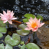 Pink Water Lily Duo