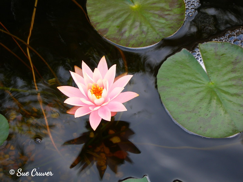Light Pink Water Lily