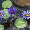 Lavender Water Lily  Trio