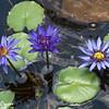 Lavender Water Lily  Trio