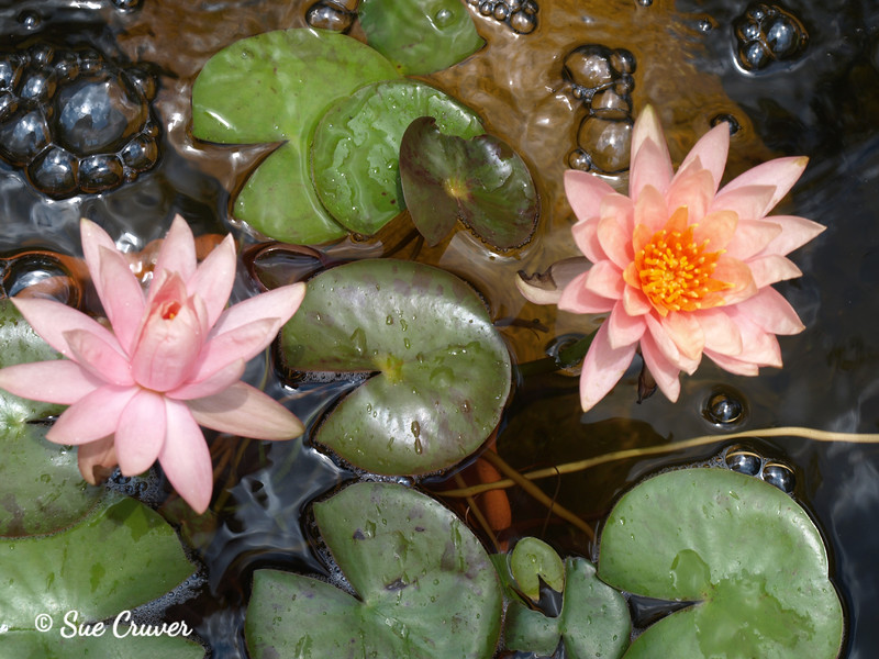 Water Lilies and Bubbles