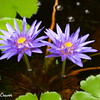 Lavender Water Lily Duo