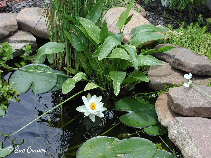 White Water Lily in Bloom
