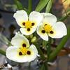 Texas Iris Trio