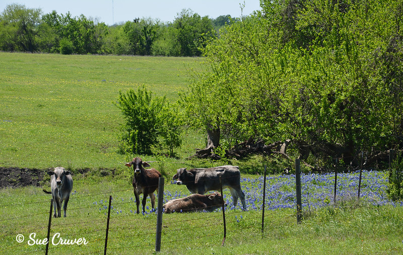 Cattle in Bluebonnets