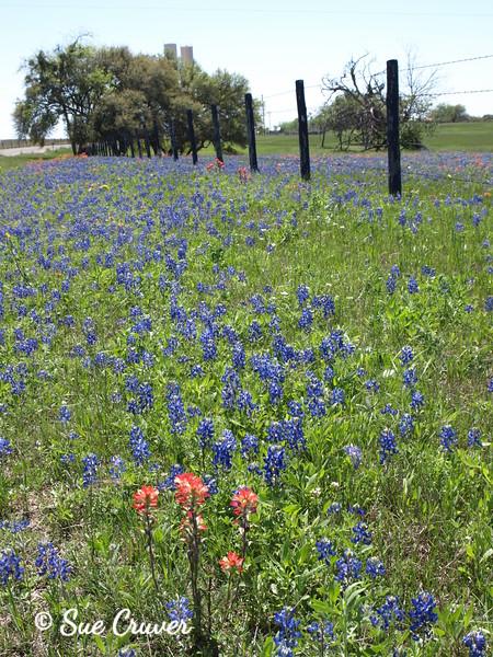 Texas Field Flowers