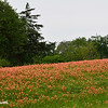 Indian Paintbrush Field
