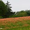 Indian Paintbrush Field