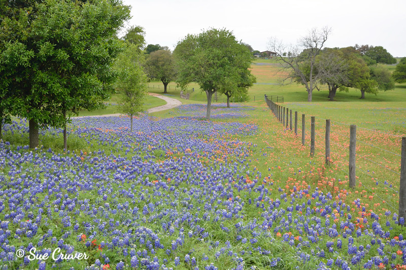 A Sea of Bluebonnets