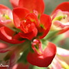Indian Paintbrush Macro
