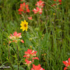 Indian Paintbrush with Daisy