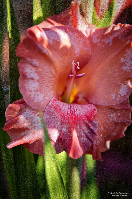 PORTRAIT OF A PINK GLADIOLUS
