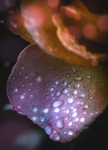 Rain Drops on Rose Petal