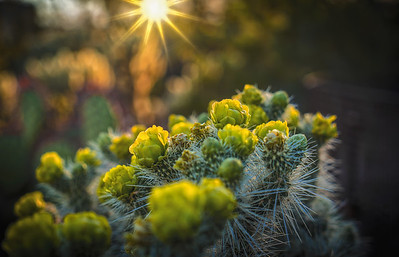 Cactus Bloom Sunset