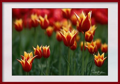 Ottawa Tulip Festival 2005