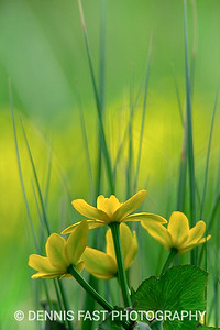 MARSH MARIGOLD  The marsh marigold is one of the earlier Spring blossoms. It loves the edges of swamps and creeks, wet areas in the woodlands, and even ditches that remain wet for lengthy periods. It grows in masses creating a wonderful golden glow wherever it blooms.