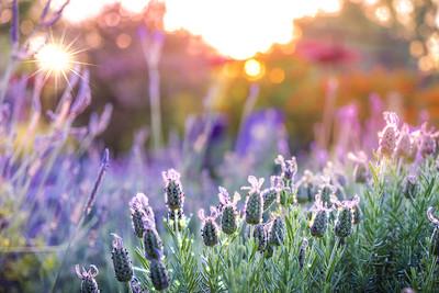 Spring Morning Lavender