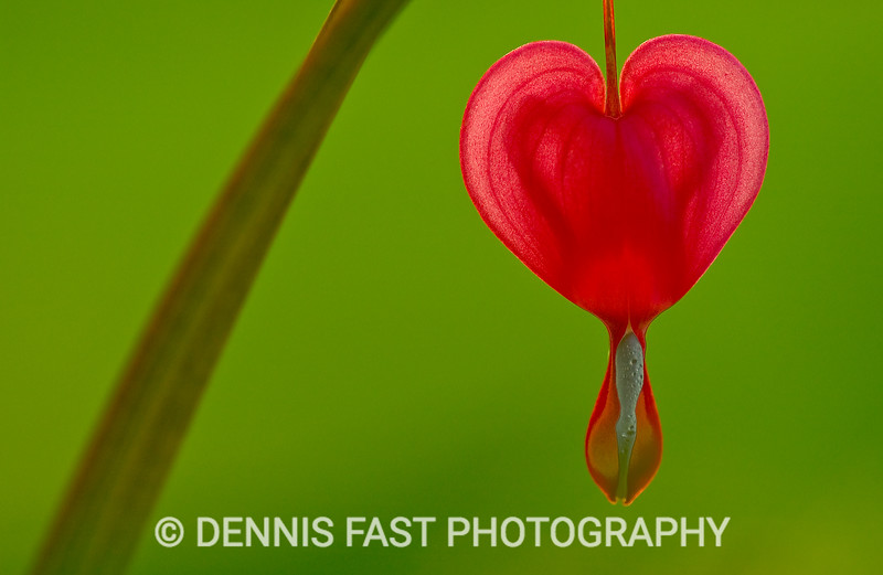 BLEEDING HEART.  Three guesses as to how the flower got its name!