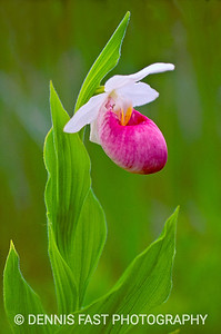 SHOWY LADY'S SLIPPER  The Showy Lady's Slipper can be a common flower of boggy areas. Unfortunately, appropriate boggy areas are increasingly hard to find. Growing up to a meter (3 feet) in height, it is one of the most elegant and spectacular flowers of the northwoods.