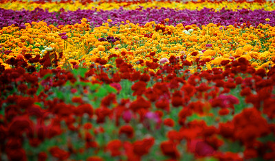 FLOWERS FIELDS OF CARLSBAD