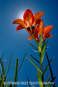 Western Red Lilies 9545