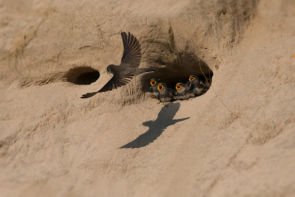 Bank Swallow chicks in sand dune nest cavity call as parent arrives with tasty insect & cool shadow • South Sandy Creek, NY, USA • 2015