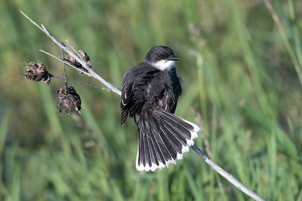 Eastern Kingbird on stalk shows off tail feathers • Montezuma NWR, NY • 2017