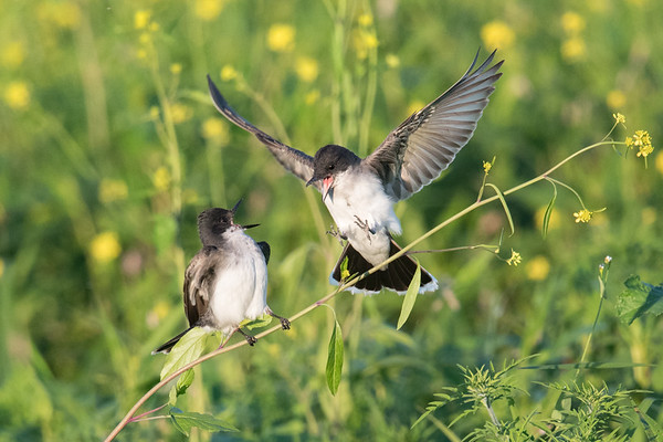 Eastern Kingbirds call at eachother as one arrives • Montezuma NWR, NY • 2017