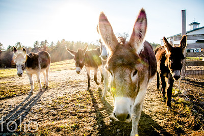 Five Donkeys, Windham, Maine