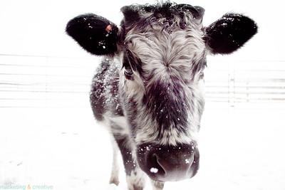 Randall Cow, Freeport, Maine