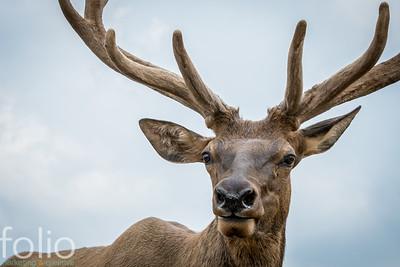 Elk, West Paris, Maine