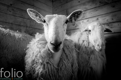 Old Ewes, New Gloucester, Maine