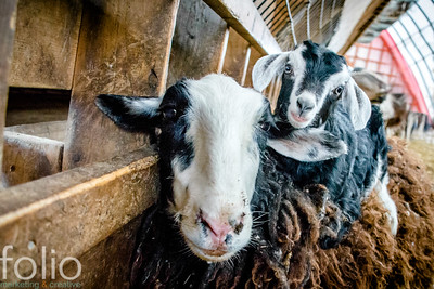 Goats, Turner, Maine