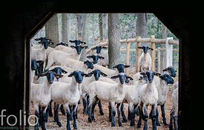 All These Sheep, Windham, Maine