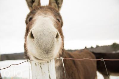 Donkey, Windham, Maine