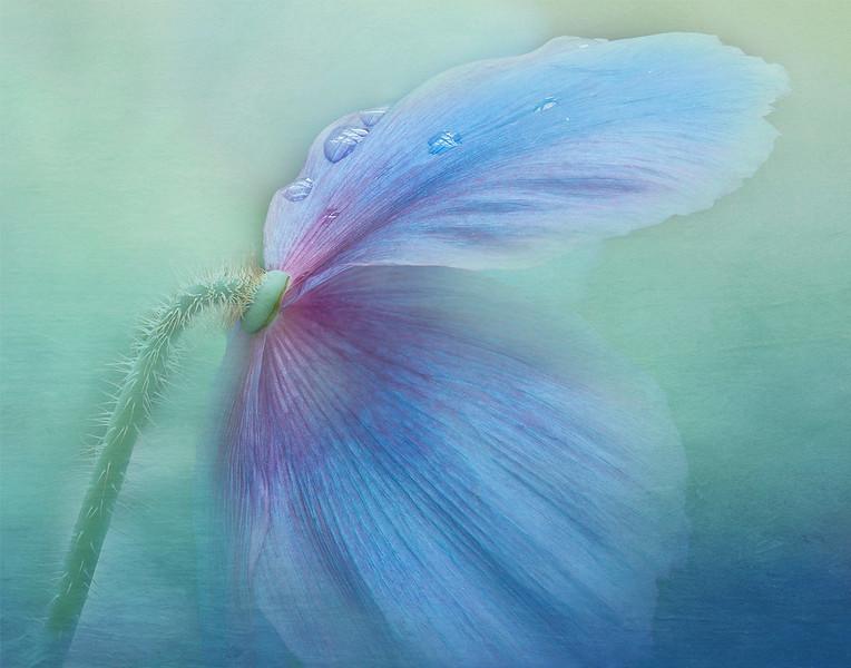 "JEFF GRABERT - ""BLUE POPPY"" - FLORAL"