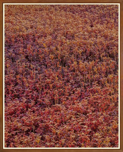 Frost On Low-bush Blueberries II