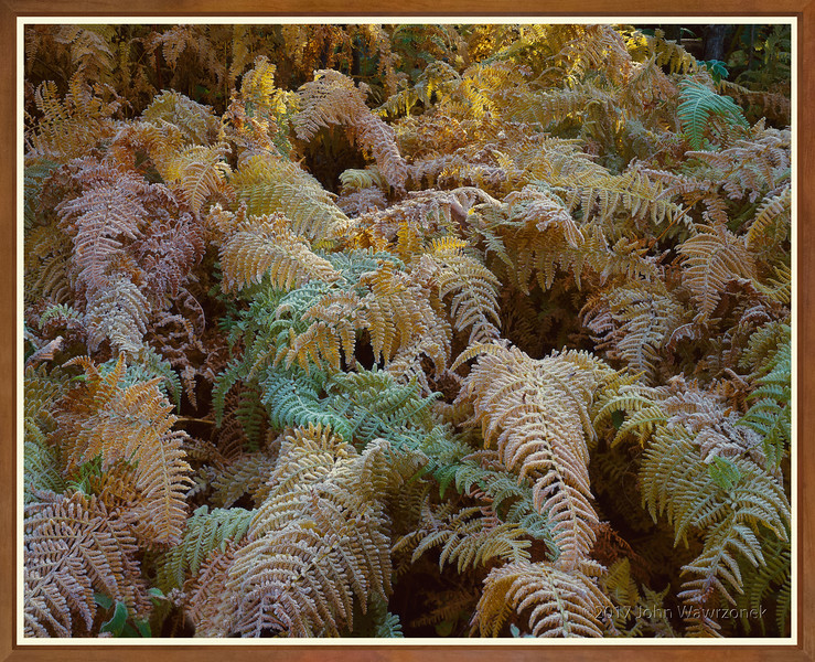 Ferns With Frost At Sunrise