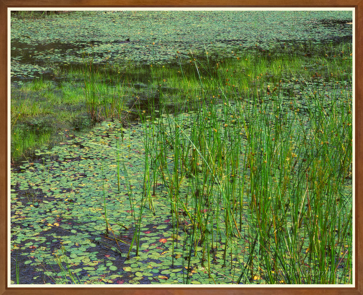 Reeds & Water-shields