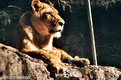 Leão no Zoo de Mendoza, Argentina