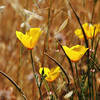 California buttercups