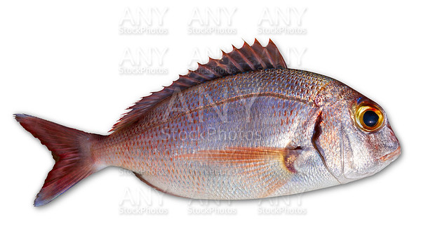 Snapper fish catch fresh red color