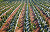 Persimmon trees field in a row at Spain